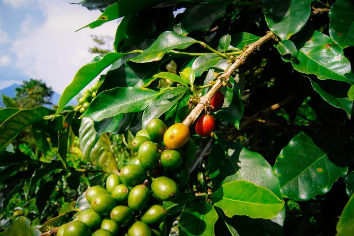 Cultivo de cafe en finca en Colombia